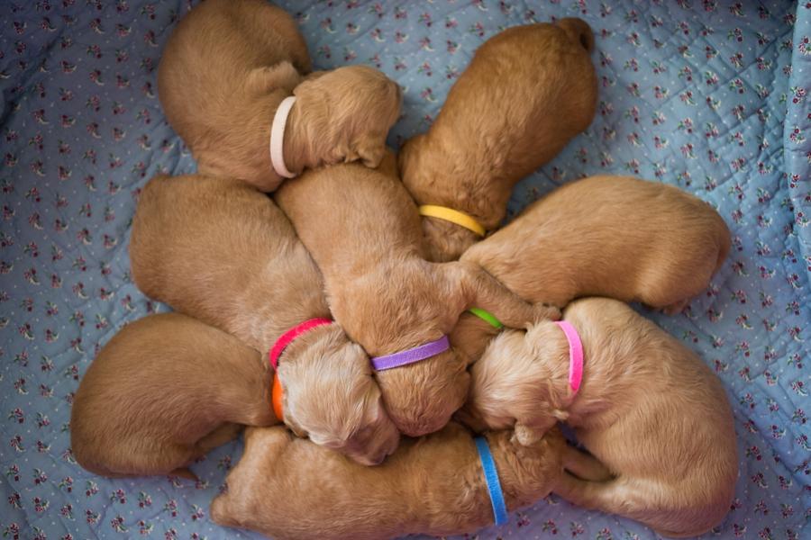 Sleepy Puppy Pile
